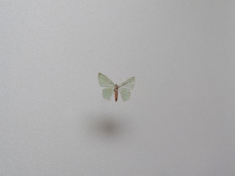 この蛾の種類は何ですか? 兵庫県産 8月採集です。