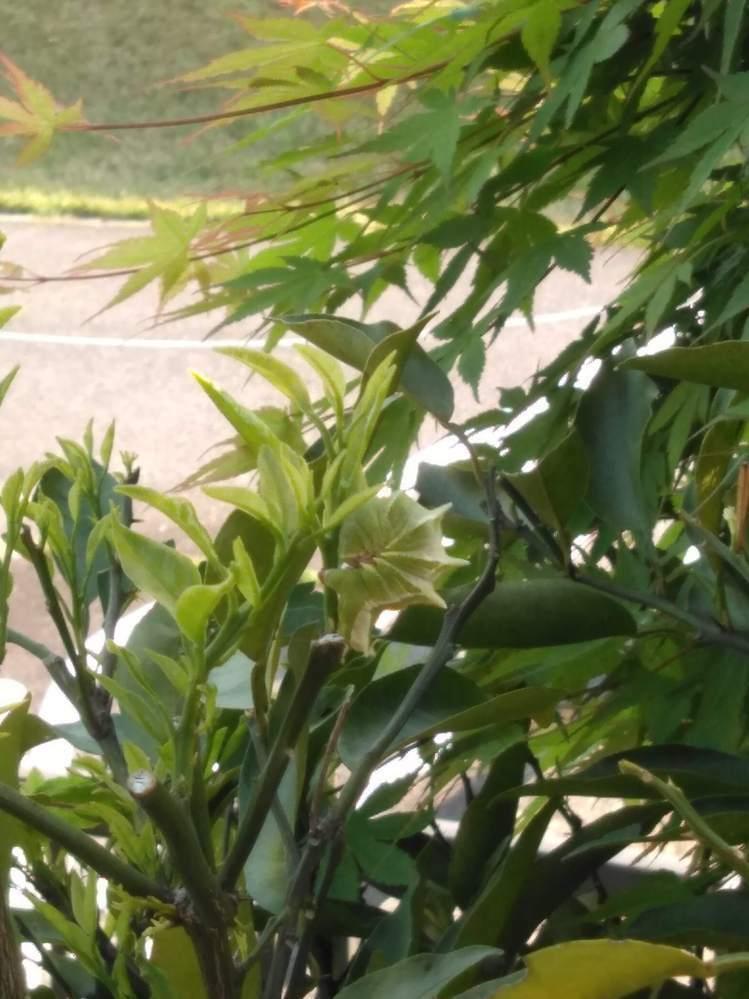 柚の若芽を盛んに食べています。背中に突起があり普段は丸まって擬態化しています。 アゲハではないようですが、何の幼虫なのかお教えください。