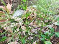 アスパラの苗かただの雑草か判定お願いします。 5年前にヤフオクで10年ものアスパラ苗5苗3000円で、拳ぐらいの立派な根が5個届いて南西の庭に植えました。 が一向に収穫できません。 山の切土の戸建てで、粘土土で水はけ悪いです。白樺の木の枯れ葉が腐葉土で5cmぐらい積もってます。 これ、アスパラだと思ってせっせと世話していたのですが、アスパラではないのですか?