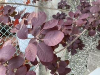 この植物の名前を教えてください。 とても綺麗な葉色で、庭木に欲しいと思っています。