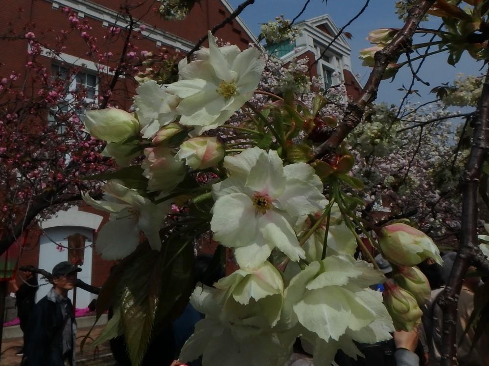 この桜は御衣黄ですか?