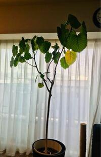 10年近く一緒に暮らしているウンベラータです。 今まで適当に枝を切ったり、取り木したりしてきましたが、最近は伸ばしっぱなしでした。 いよいよ180センチを超えそうなので再び切り戻したいと思います。 幹の部分が130センチほどで葉は枝の上にしかないので貧相なイメージになっています。 柔らかくふわふわした感じにしてあげたいのですが、どのあたりで切るのがベストでしょうか? 茶色くなった幹部分で切っ...