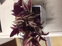 この観葉植物の名前を教えてください。ホームセンターで購入しましたが、名前が記載されていませんでしたのでよろしくお願いいたします。