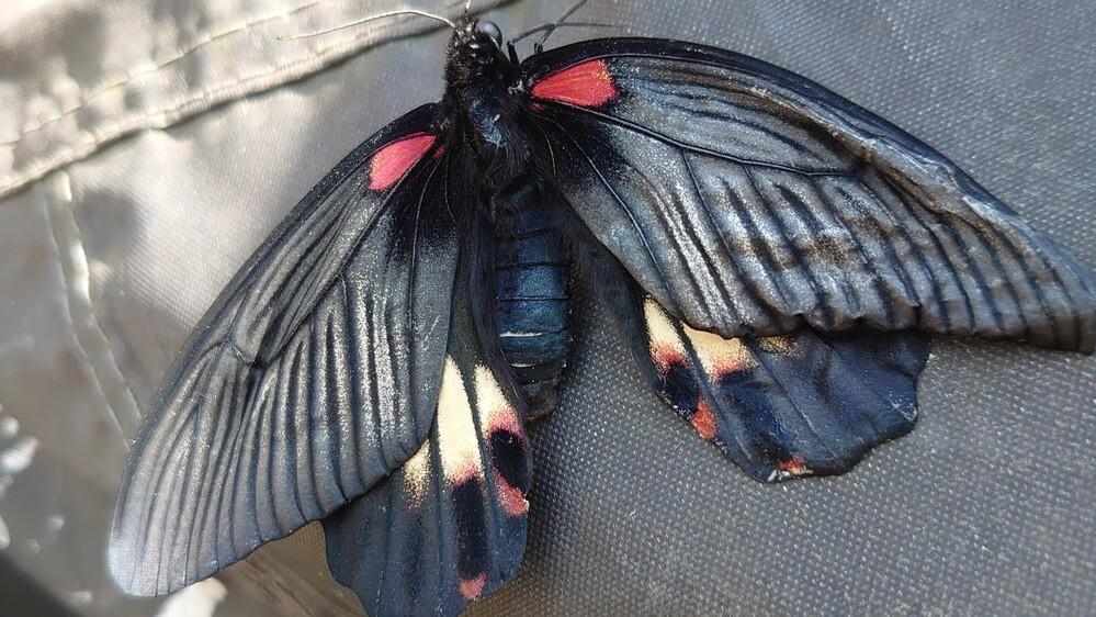 今しがた発見した蝶(ナガサキアゲハ?)の羽が中途半端によれてしまっているようなのですが、彼ないしは彼女は飛べるのでしょうか?
