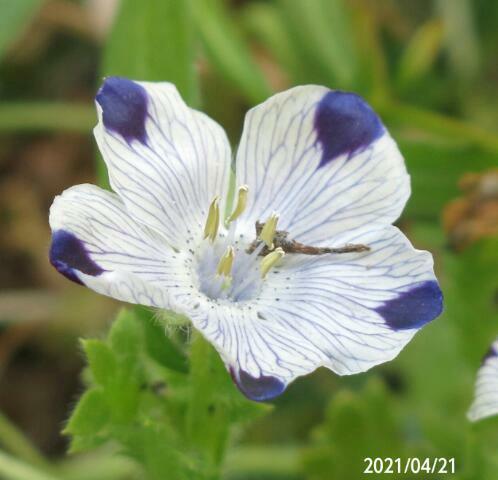 園芸種の名前を教えてください、 岐阜県美濃加茂市草むらの中で、 撮影20210421
