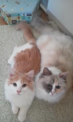 うちの家には猫が2匹います。 ラグドール1才11カ月♀とノルウェージャンフォレストキャット1才6カ月♂です。 そのラグドールの名前が「鈴蘭」 ノルウェージャンフォレストキャットが「リンドウ」です。 かわいいですか? 左がリンドウ右が鈴蘭です