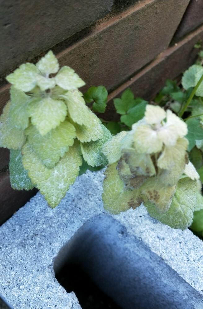 花壇に勝手に生えてきたこの植物がなにか教えて欲しいです。 ブラックベリーのそばに生えてきたので有害なのどうか判断したくて…… ご存知の方いましたらよろしくお願いします