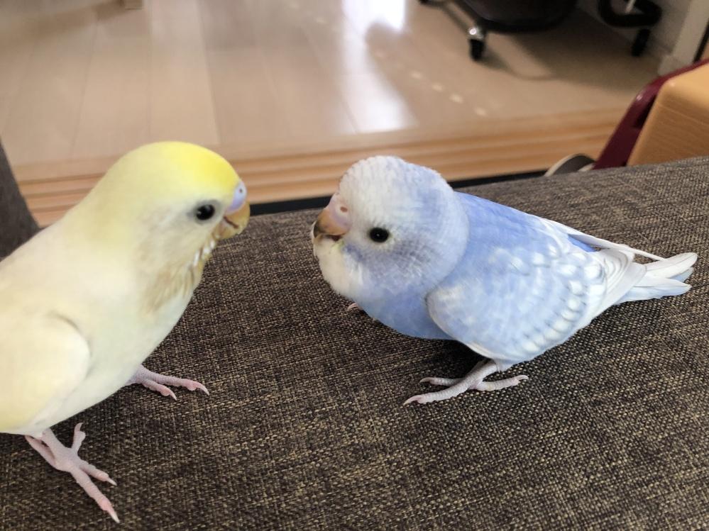 うちのセキセイインコなのですが、 黄色い子が2月生まれで 青い子が1ヶ月遅れの3月生まれなのですが 黄色い子は顔もスリムというか モフモフしてなくて くちばしも家に来た時から黒くなく 飛ぶのも早...