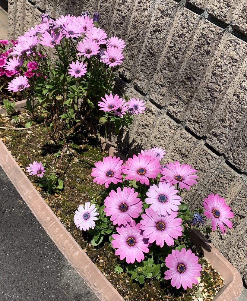 これは何という花でしょうか。調べてみたらディモルフォセカという花に似ていますが、あってますか?