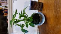 100円ショップでつい買ってしまいましたが、どうやってそだてるのか分かりません。 コケの部分に霧吹きで水をあげるだけで良いのでしょうか?  上の植物の名前、分かりません コケに霧吹きで水やりだけで上の植物は大丈夫なのでしょうか?  ガラスの器に水をはっておいた方が良いでしょうか?