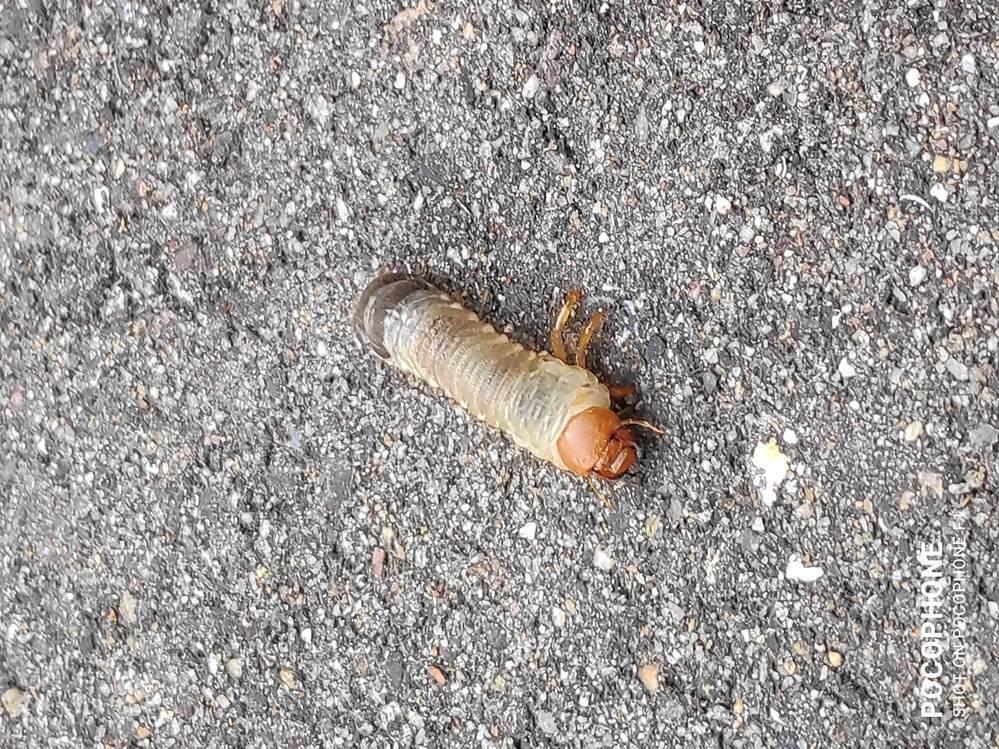 この幼虫は何の虫の幼虫でしょうか? 家の庭の少し出たところのアスファルトの上にいました。体長は3cmくらいでした。 よろしくお願いします。