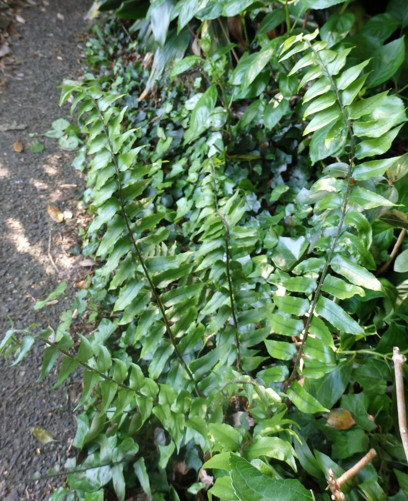 これはシダの仲間ですか?やたらと庭に出てきました。写真のは50㎝程の高さですが、大きくなるものですか?放っておいてもよいですか? 年寄りなので、庭の手入れができないので、アジサイが勝手に繁茂していて、そこに一緒に出ています。