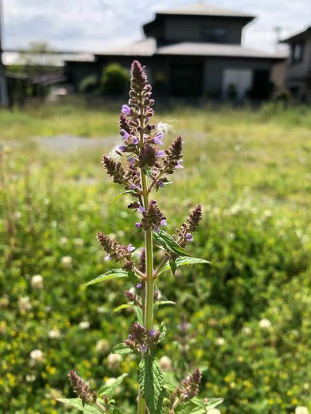 この雑草の名前分かる方いらっしゃいますか。クマツヅラかと思ったけど葉が違うような… 画像検索してもでてきません。