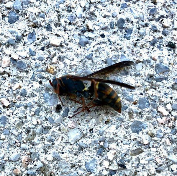 このハチはスズメバチでしょうか?網戸にしているにもかかわらず、最近気づいたら家の中に入っていて気になってます。家の中に巣を作ったりしますか? す大きさは2cm弱くらいです。 詳しい方宜しくお願い致します。