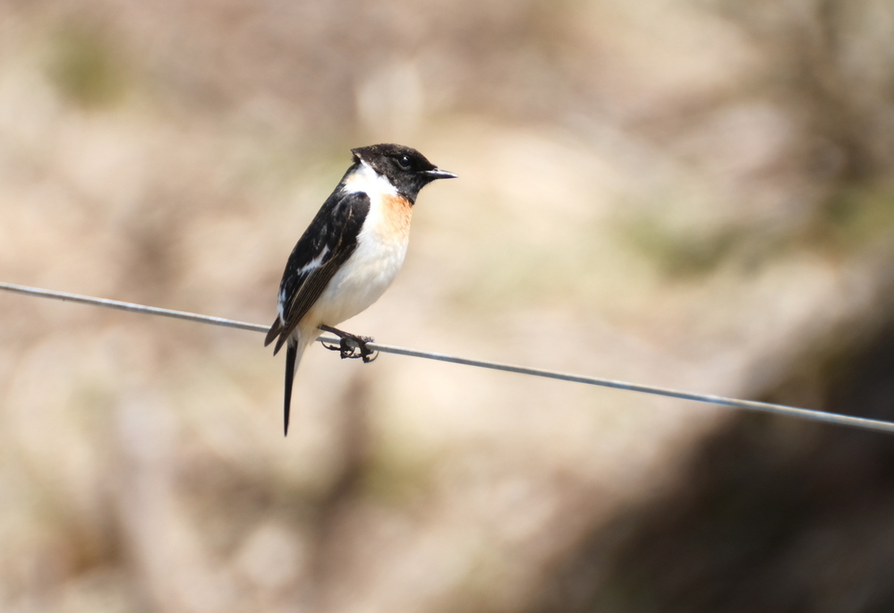 この野鳥を教えてください 今日牧場の原っぱで 数羽飛んでいました