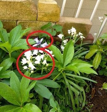 ご近所の高齢者の方から花の名前を調べて欲しいと頼まれました。ご存じの方教えていただけると助かります。