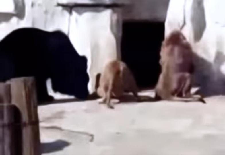 ヒグマとライオンは仲良しですか?