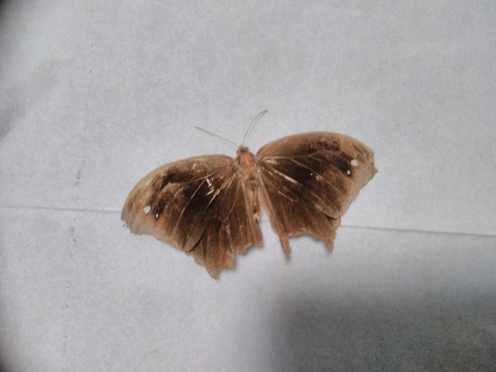 ある施設で、お亡くなりになったタテハチョウの仲間だと思われる蝶を見つけました。ヒカゲチョウか、ジャノメチョウに近い仲間だと思います。 昆虫図鑑で、調べましたが見つかりませんでした。詳しい方教えてください。