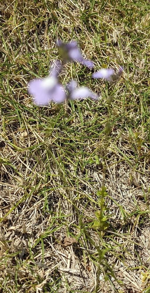 画像が不鮮明ですみません。 今咲くこの花の名前を 教えて下さい。 凄く細い茎が1本伸びて 紫色の小さな花をつけます。 芝生の上に自然に生えました。 移植して栽培することは 可能でしょうか? 宜しくお願い致します。