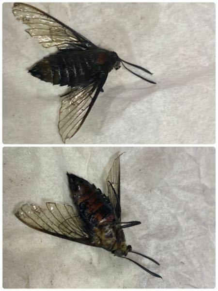 洗濯物と一緒に入ってきたのですが この虫は何でしょうか? アブ?? クマンバチ? とは少し違う気もします 詳しい方お願いします!