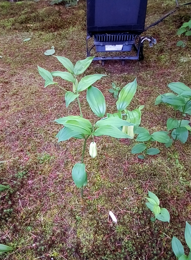 このホトトギスの葉に似た葉を持つ植物の名前を教えて下さい。