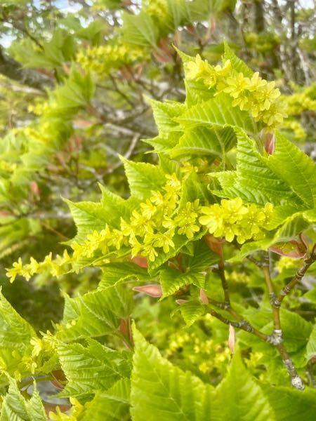 お花まで緑です。 なんていう植物ですか?
