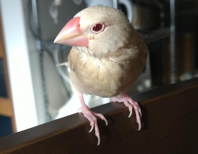 我が家の文鳥、オスでしょうか、メスでしょうか? 生まれて1か月と3週間になる文鳥です。 目はアーモンドかな?と思うのですが、嘴の形など、初めて文鳥を飼うためよく分かりません。 どちらと思われますか?