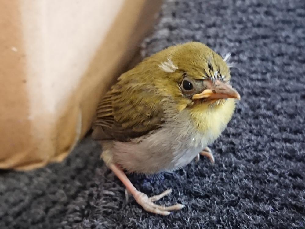 今朝、見つけたのですがこの子はなんと言う鳥でしょうか??アオジ?ノジコ??