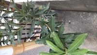 住んでる建物の裏手に生えている木です。 隣家の敷地に侵食し始めたので切るのですが、この木は何ですか? 毒とかはありませんか? 教えてください。