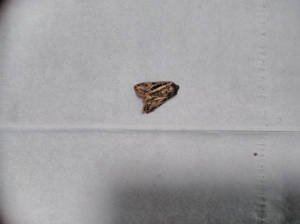 ある施設で、死んでいたボクトウガのような虫を見つけました。図鑑で調べましたが見つかりませんでした。詳しい方教えてください。