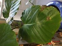 ウンベラータの葉の焦茶色の穴あきや枯れについて。  今年2月にIKEAで購入したウンベラータの鉢。 購入時から常に葉の何枚かが、周りの縁や穴が空いたところが 黒っぽい焦茶色になって枯れてしまいます。 新...