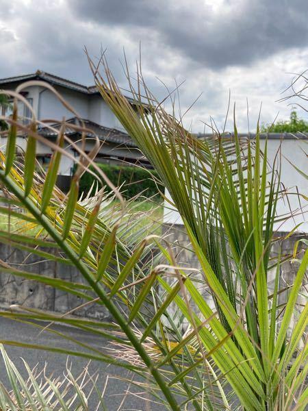 ヤシの木(アレカヤシ?)の育て方について詳しい方アドバイスをお願いします。 福岡在住です。 昨年の真夏日が過ぎて暑さが落ち着いた頃に 植えてもらいました。 庭に地植えしているのですが 3月くらいから葉先が枯れているのが目立つようになり気にしていたのですが、中央部分から新しいの葉が生えてきていたので 生え替わりかな?と思ってました。 しかし中央の新しい葉っぱも葉先が黄色っぽくなり 枯れかけて...
