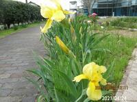 頭でっかちの園芸種の名前を教えてください、 岐阜県美濃加茂市で、 撮影20210424