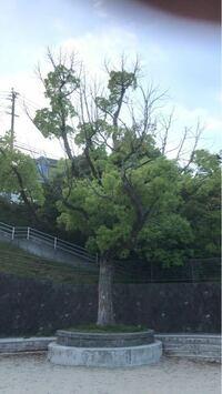 クスノキの上の方から枝が枯れ始める症状がよく見られるのですが、何が原因でしょうか?場所は福岡県の公園などの緑地です。