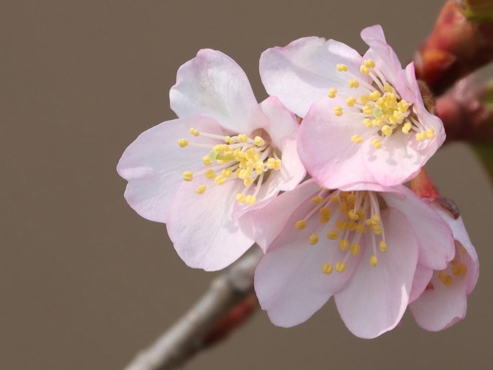 このお花は梅ですか?桜ですか? 4月24日、札幌市内です。