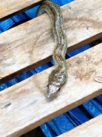 写真の蛇の名前をお教え願います。夕方に東京23区に現れました。銀色で50㎝以上ありました。