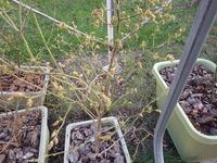 ブルーベリーの花芽がたくさん付いています。 大きな実を収穫するには間引きしたほうが良いですか? ブルーベリー栽培に詳しい方、お願いします。 写真を添付します。
