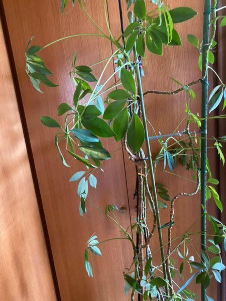 無くなった祖母が残していった観葉植物なのですがこれは何という種類でしょうか