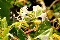 昨年5月中旬に北九州市の海岸付近で撮った花です。これはユリだと思いますが、何と言うユリでしょうか?