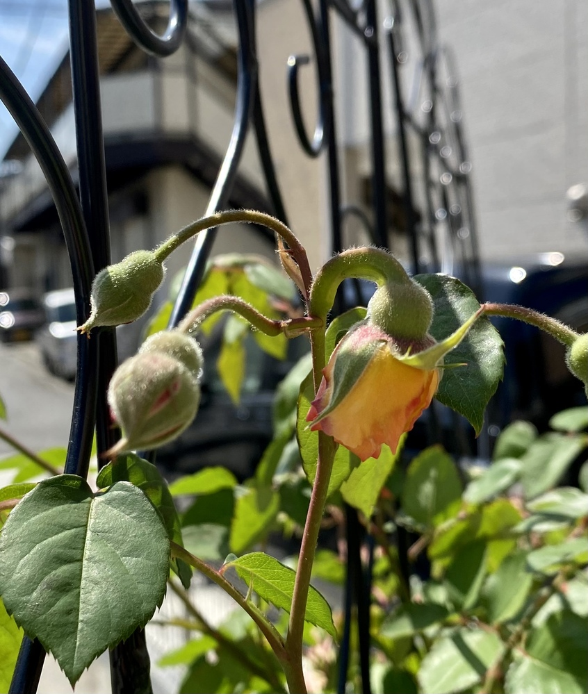 新苗2年目のバフビューティーにこの春初めて花を咲かせます。 蕾が写真のように下を向いているのですがこれはバフビューティーでは普通のことですか? それとも何か原因がありますか? 水はあげているの...
