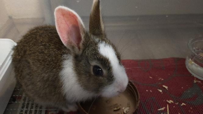 子うさぎをお迎えしました。 トルコ在住で、ペットショップはあまり生まれた日にちとかはしっかりしていません。 ペットショップの店員さんは2ヶ月と言っていまきたがネットで見る限りではもっと小さいのでは?と思っています。ウサギを飼うのは初めてです。 お迎えした時の体重は296gで、一週間後の今日は407gです。 ウサギの種類もわかりません。 分かる方アドバイスよろしくおねがいします。
