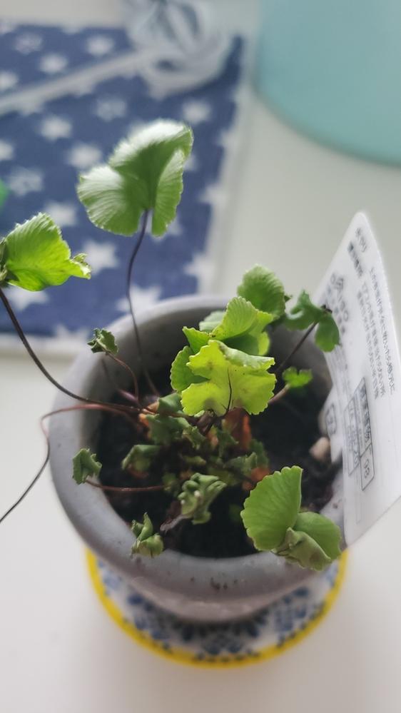 ダイソーで購入したのですが 植物の名前を教えてください。 枯れてきてるんですが。。水不足なんでしょうか。。