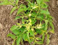 畑にジャガイモを植えたら1株画像のような黄色い葉が出ました。これは病気か何かの肥料不足でしょうか?