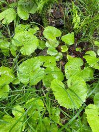 野草、山菜に詳しい方。 今日葉わさびを採ってみようと沢沿いを歩いてたのですが、葉わさびに混じって葉わさびに似てるけど葉っぱの周りがギザギザしてる野草がたくさん生えてたのですが、これもワサビですかね? たくさん生えてたんですが、怖くて一応採るのはやめときました。