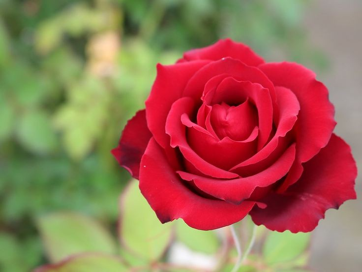 『真っ赤な薔薇の花』は、好きですか?