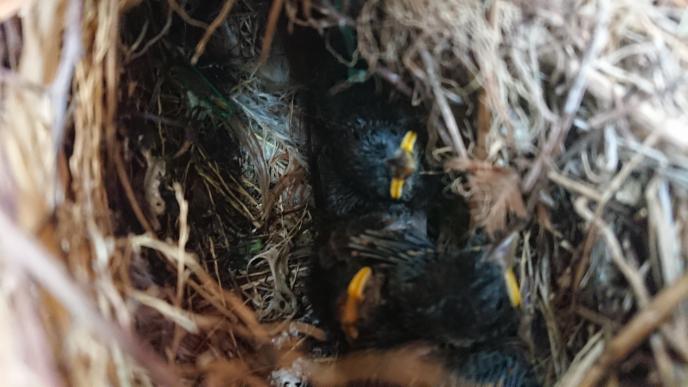 家のポストの中に雀の雛がいます 写真の雛は後どれくらいで巣立つでしょうか? 猫に狙われているのか、ポストが2度ほど倒されていて、巣立つまで心配です ポストは高さ1.5メートル位のところ(植...