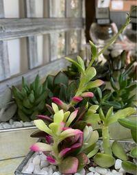 この真ん中の、ピンクと黄緑色の多肉植物のお名前教えて頂けますか? よろしくお願いします