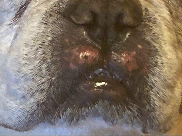 愛犬(フレンチブルドック)の鼻の下が赤くかぶれている?みたいになってます。 原因と対処を教えてください