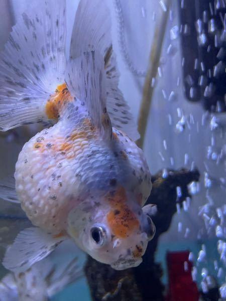 うちの金魚のキャリコパールスケールです。 今日気づいたのですが、左目(向かって右目)が少し腫れていませんでしょうか?? これって、ポップアイの初期か何かですか?? 写真が分かりづらくてすみません。 どなたかよろしくお願い致します。