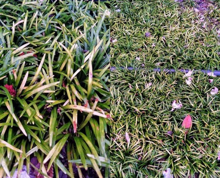 この芝のような草の名前を教えていただきたいです! 緑系3色程度、立体感のある配色でおしゃれな生え方でした。芝で画像検索をしてもピンとこず‥ 写真(左半分:アップ)もあまりうまく撮れていないのですが、よろしくお願いいたします。